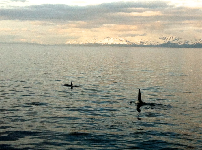 Killer Whales swimming along past Chenega.